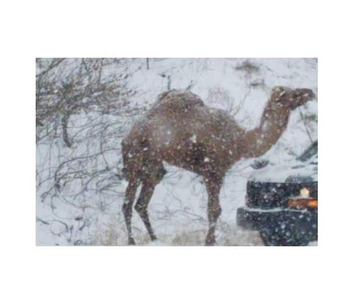 Camel on the side of road in the Lehigh Valley