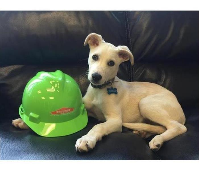 White dog posing on a couch with a SERVPRO hardhat