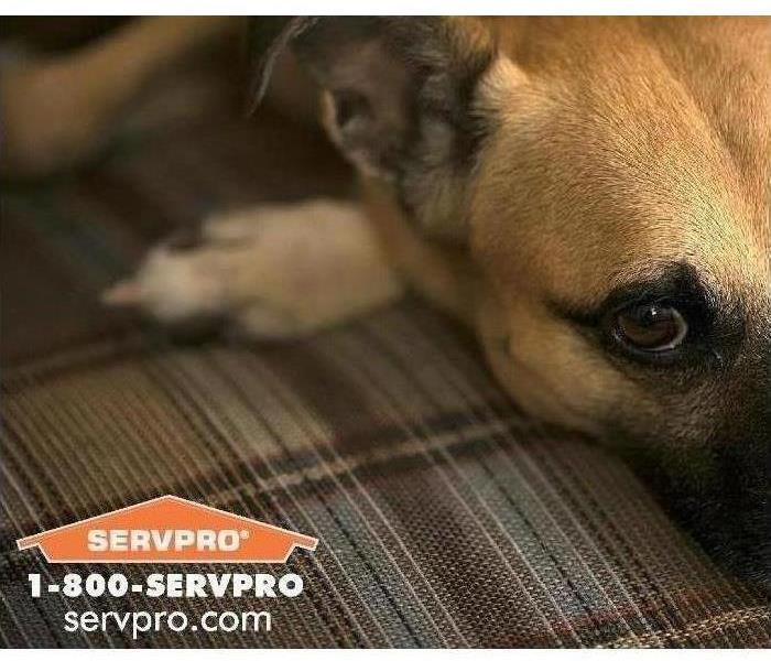 Image of dog laying down on plaid furniture - SERVPRO logo in lower left corner